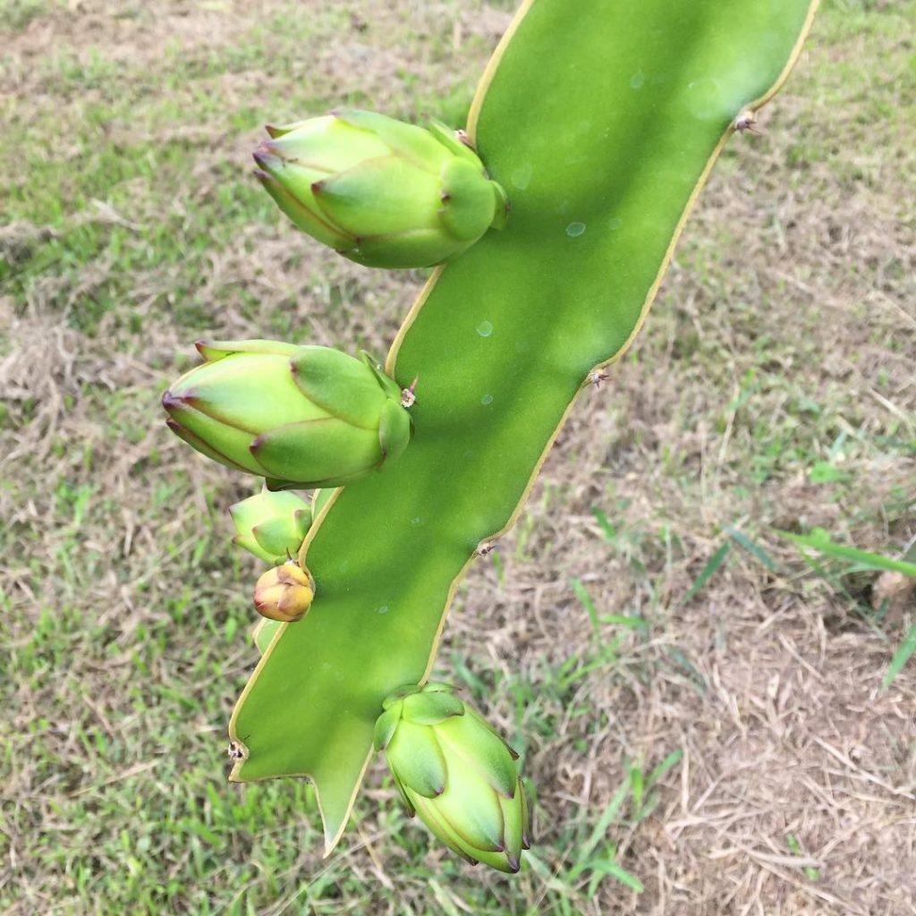 Ejder Meyvesi (Pitaya) Meyve Dalı ?