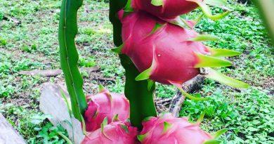 Ejder Meyvesi'nden Elde Edilen Verim