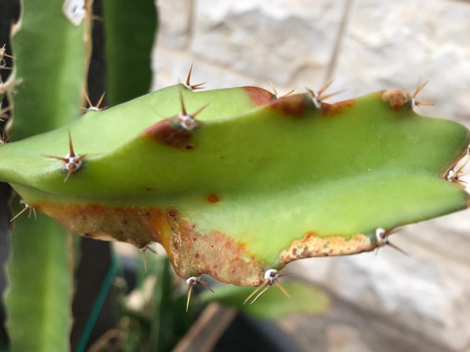 Ejder Meyvesi Pitaya Mantar Hastalığı