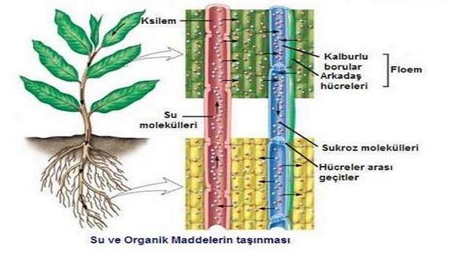 pitaya iç yapısı
