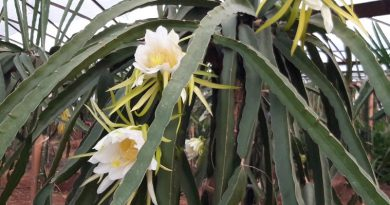 Ejder Meyvesi Bitki Besleme ve Toprak