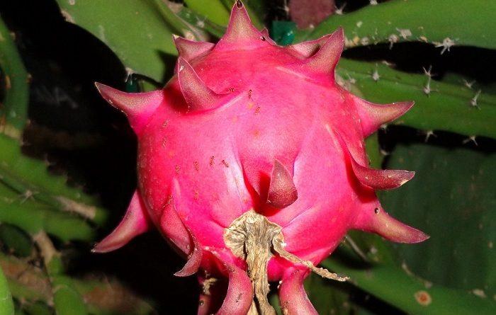 Ejder Meyvesi Pitaya Red Jaina