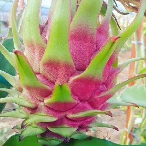 Ejder Meyvesi Pitaya Phlippines Red