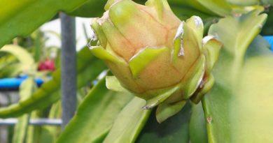 Ejder Meyvesi Fidan Bakımı