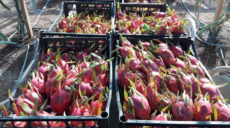 Ejder Meyvesi Pitaya Satış Fiyatı