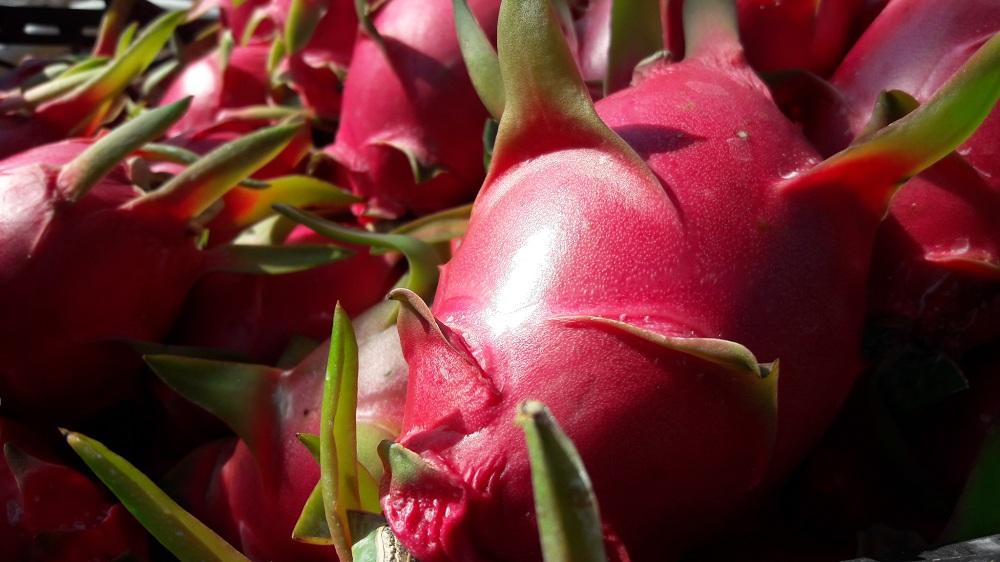 Ejder Meyvesi Uyum Süreci