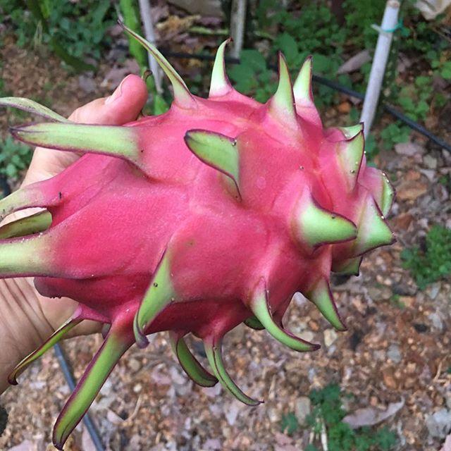 Ejder Meyvesi Pitaya'nın Genel Gereksinimler