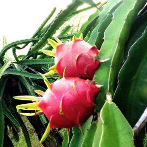 Ejder Meyvesi Dönümden Meyve Hesabı