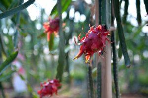 Modern Tarıma Geçişte Ejder Meyvesi