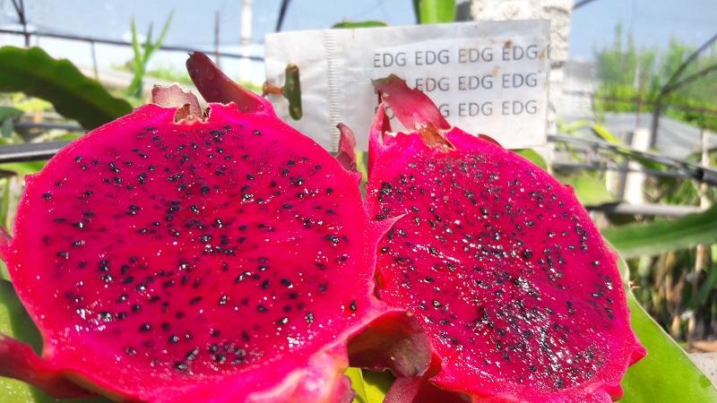 Ejder Meyvesi Pitaya Edgar