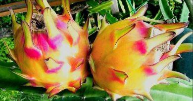 Ejder Meyvesi Pitaya Çeşit ve Yorumları