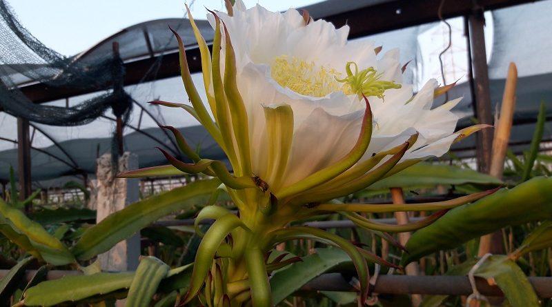 Ejder Meyvesi Pitaya Çiçek Meyve