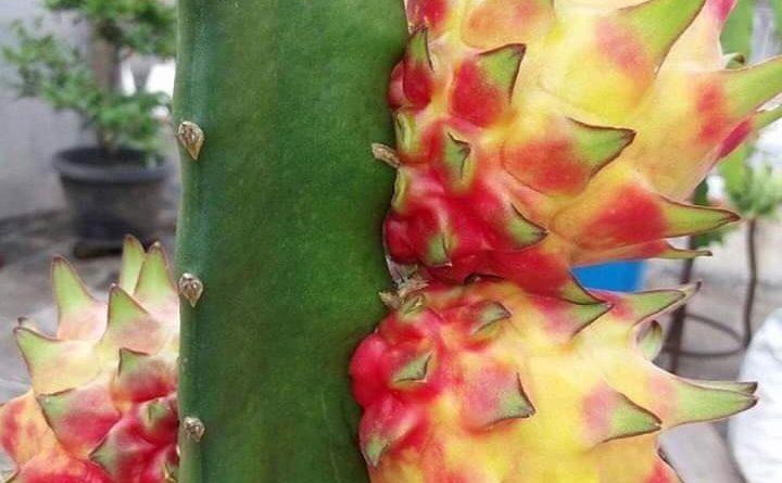 Ejder Meyvesi Pitaya Rainbow