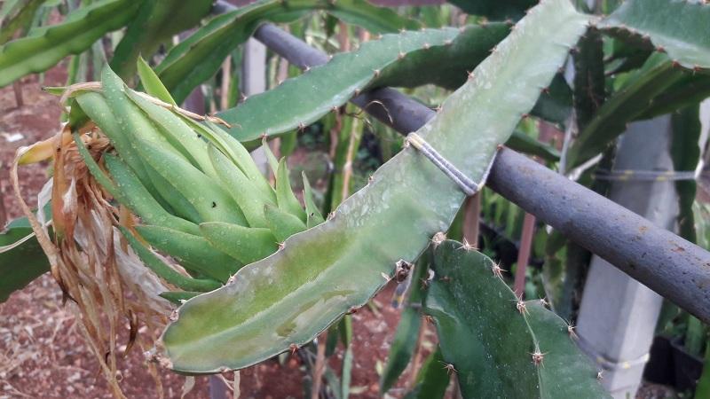 Ejder Meyvesi Pitaya Costarica White