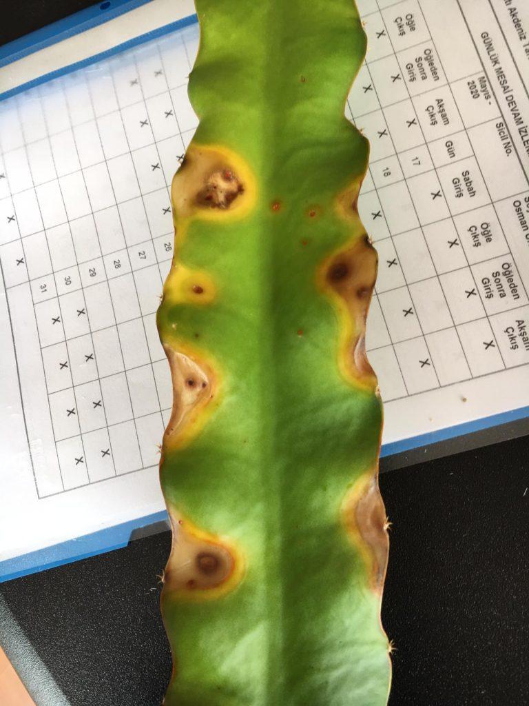 Ejder Meyvesi Pitaya Fungal Hastalık
