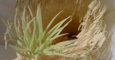 ejder meyvesi pitaya mexicana
