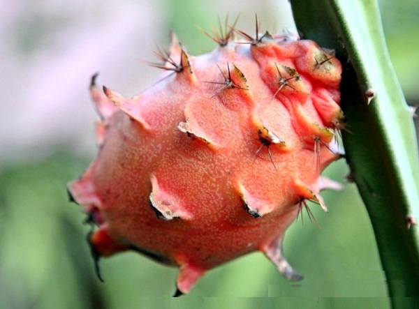 Ejder Meyvesi Pitaya Frenkies Red