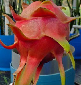 Ejder Meyvesi Pitaya Townsend Pink